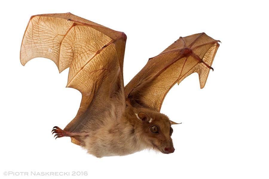 Portable Studio for Bats in Flight