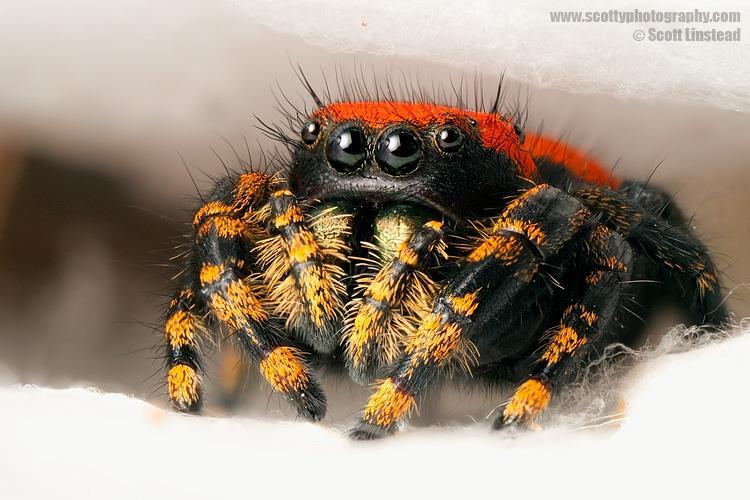 Stacking Live Arachnids