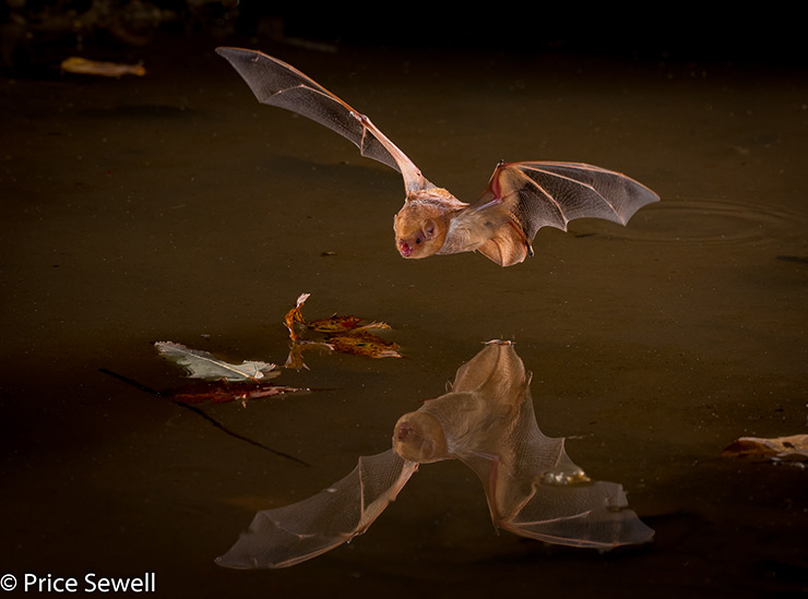 Price Sewell Photographs Bat in Flight with Sabre