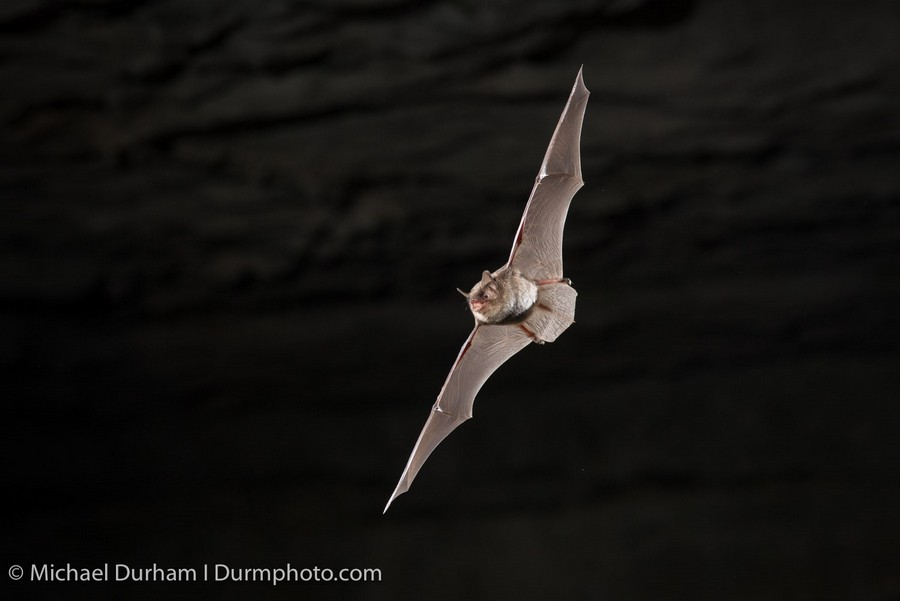 Endangered Indiana Bat