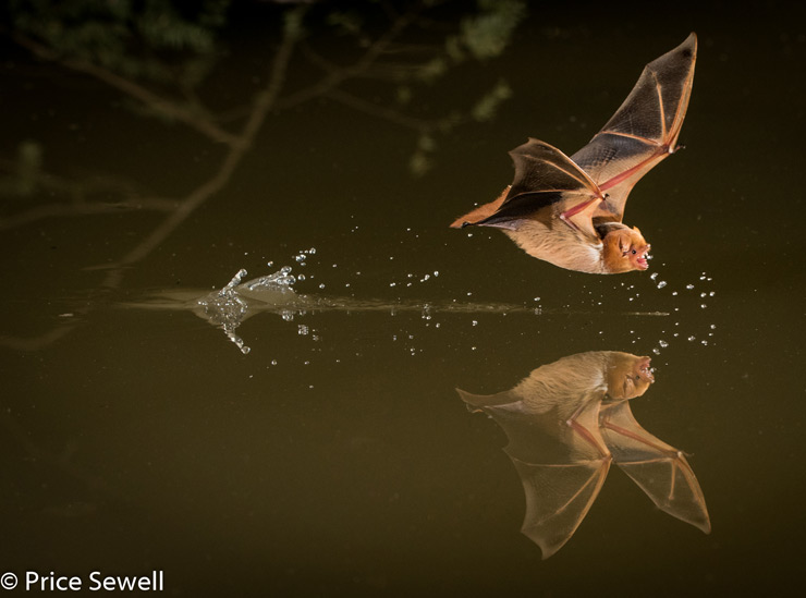 Price Sewell Photographs Drinking Bat in Flight with Sabre