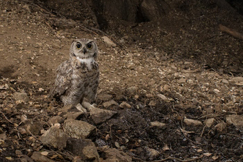 Great Horned Owl Captured with Scout Camera Trapping Setup